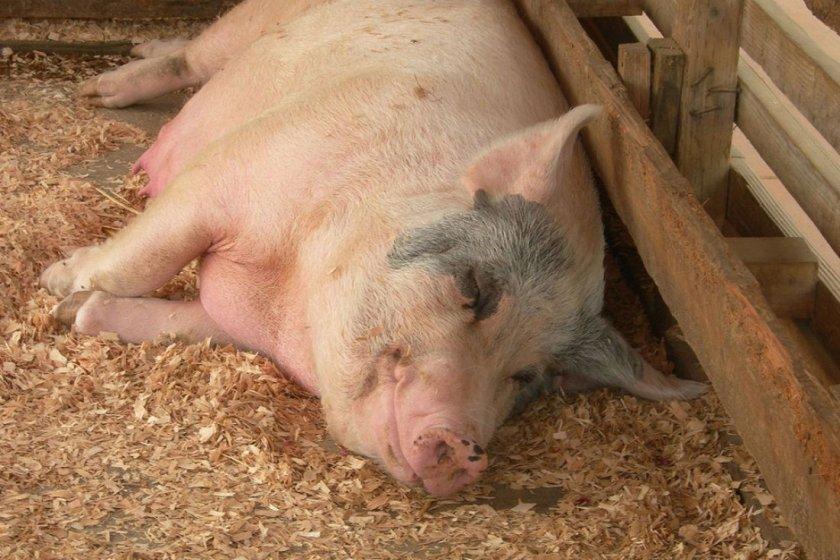Признаки беременности у свиньи