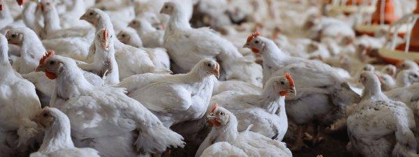 Какие существуют породы цыплят-бройлеров