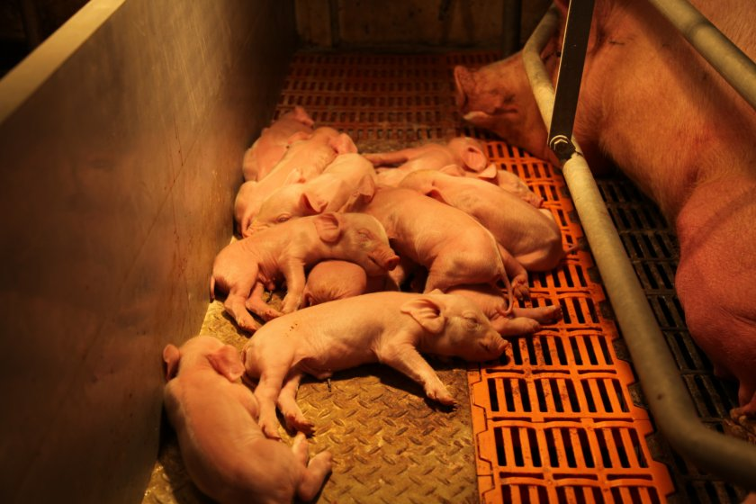 Поведение свиноматки полсе родов