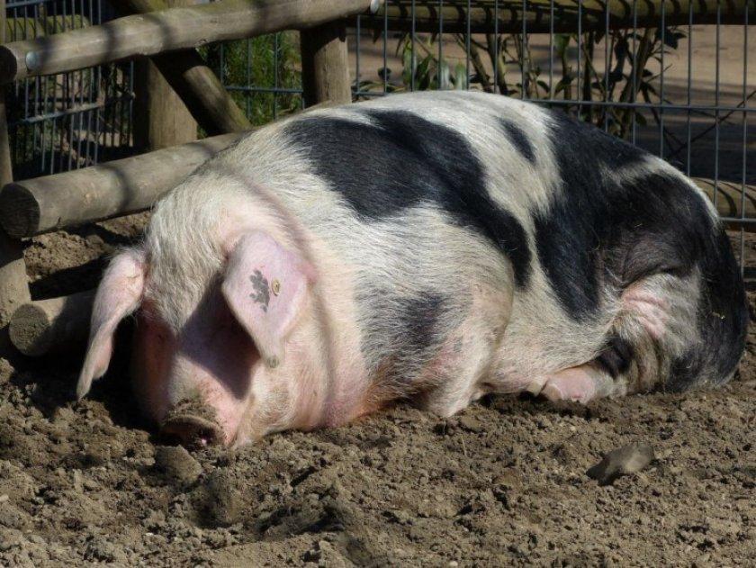 Свинья не принимает поросят после родов