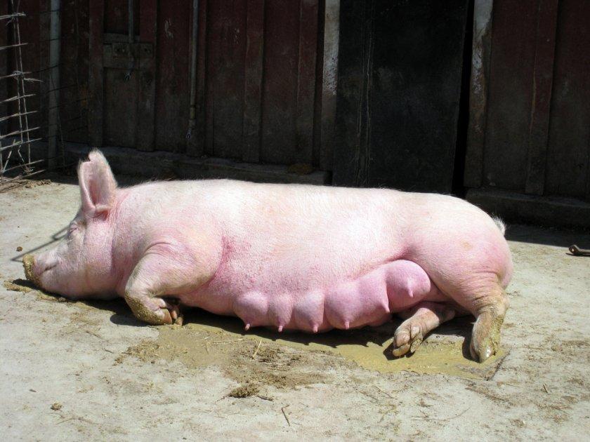 Свинья не ест после родов