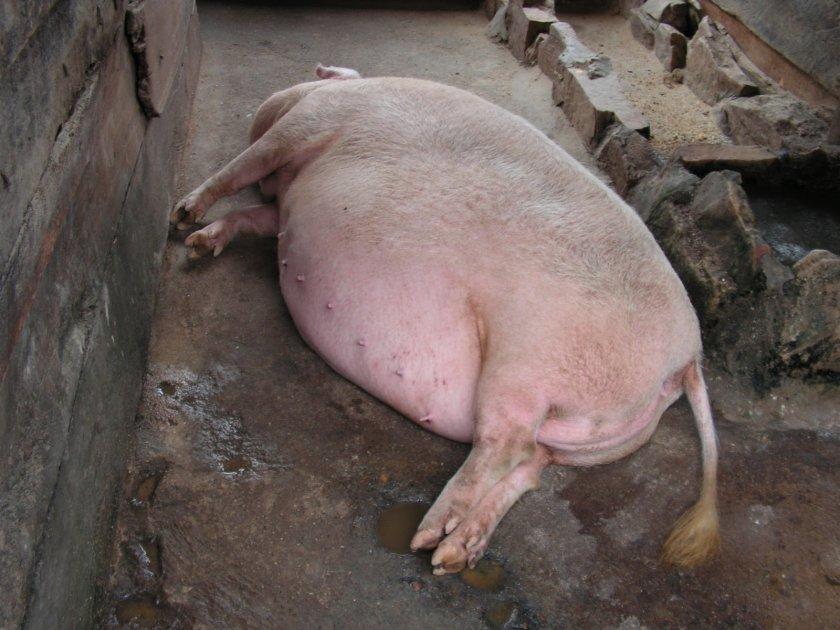 Свиноматка не может зазродиться