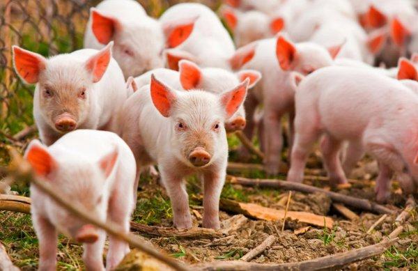 Повышение цен на корма — основная причина сокращения поголовья свиней в Украине