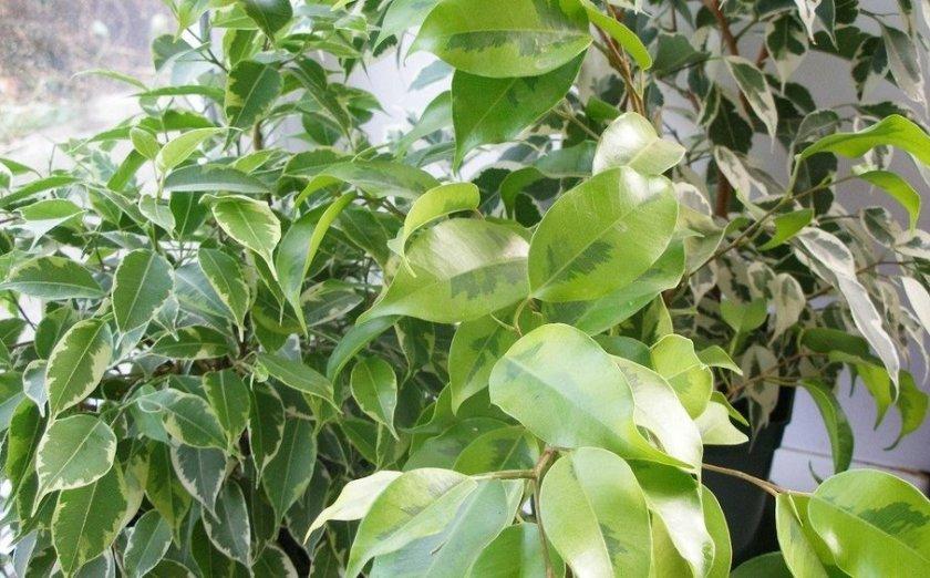 Особенности выращивания фикуса