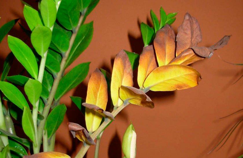Пожелтение и усыхание листвы