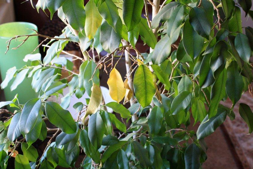 Листья фикуса опадают
