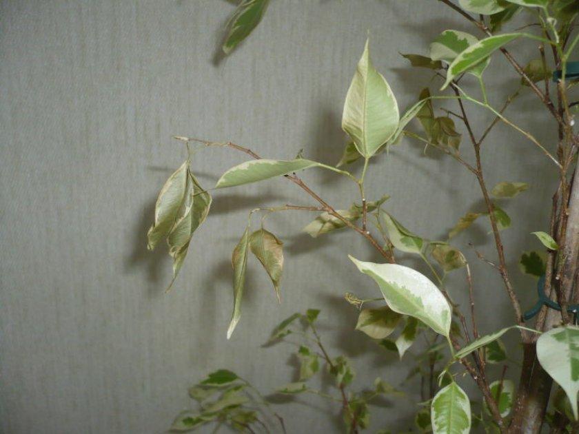 Почему у фикуса опадают листья