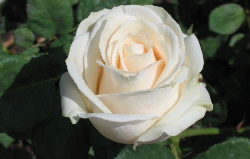 Розы сорта венделла