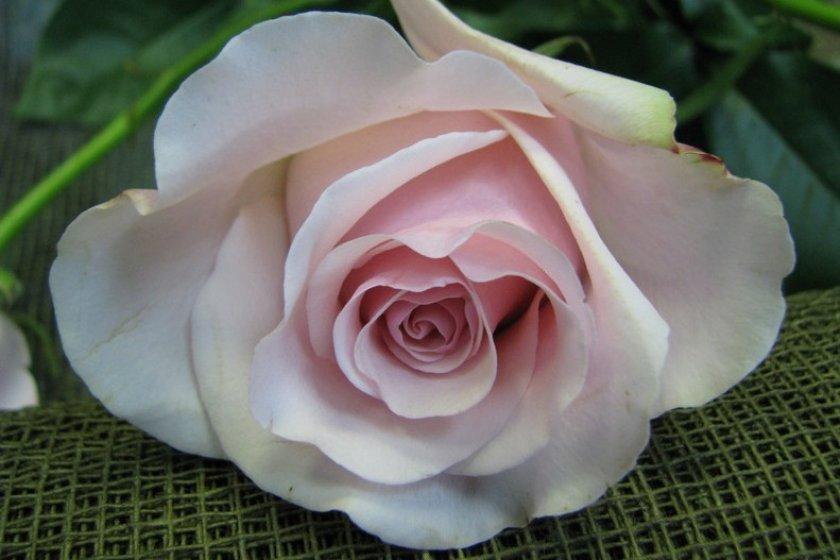 Розы сорта титаник