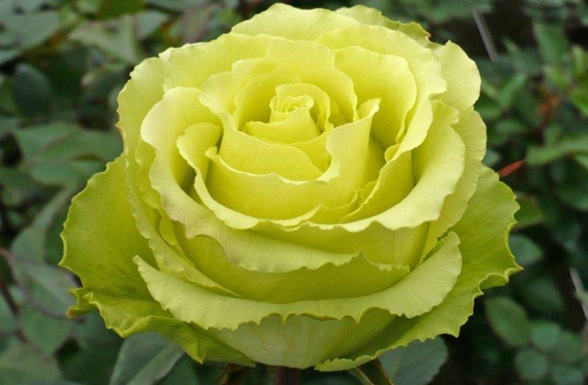Роза сорта лимбо