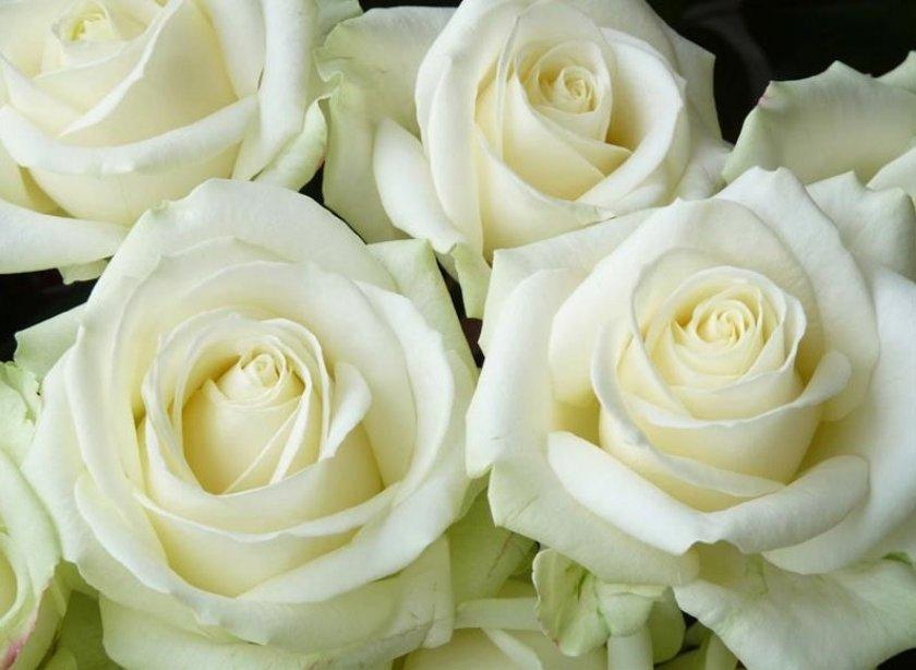 Розы сорта аваланж