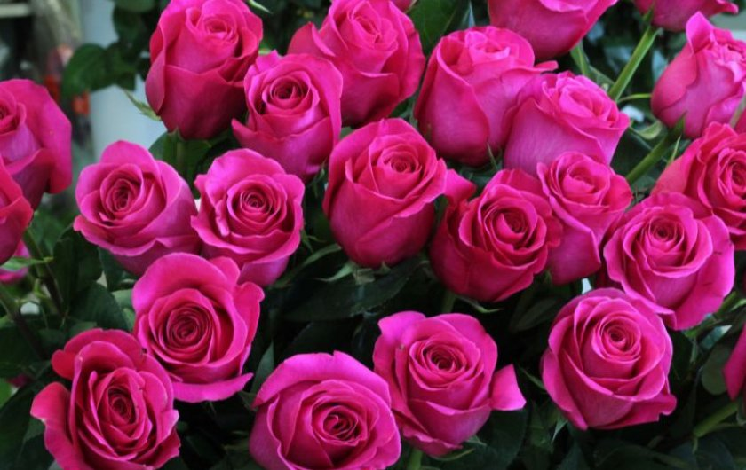 Розы сорта топаз
