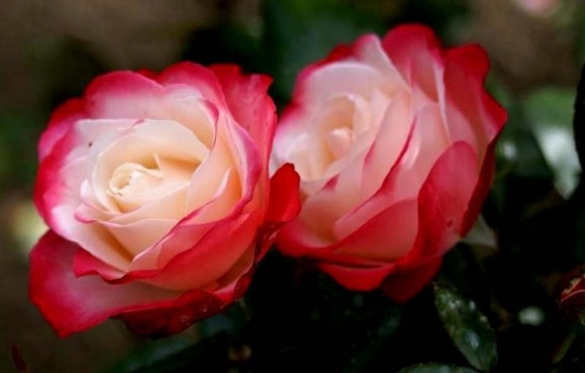 Розы сорта ностальжи