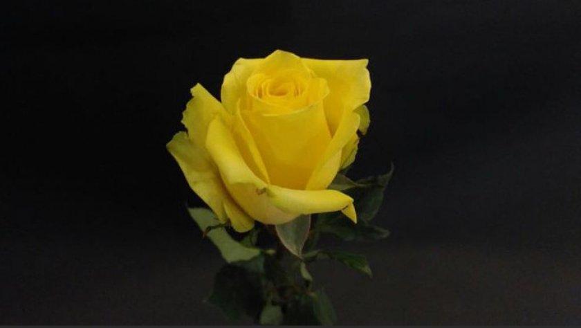 Роза сорта бикини
