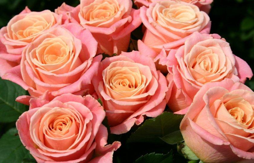Розы сорта мисс пигги