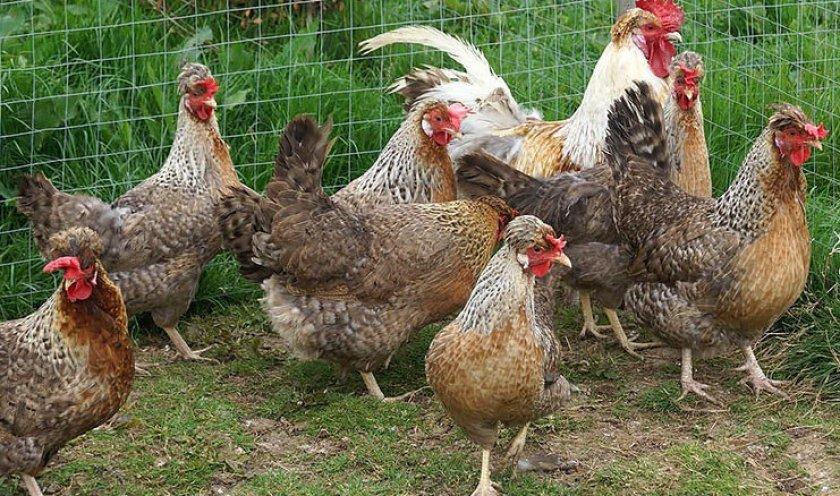 Легбар порода кур