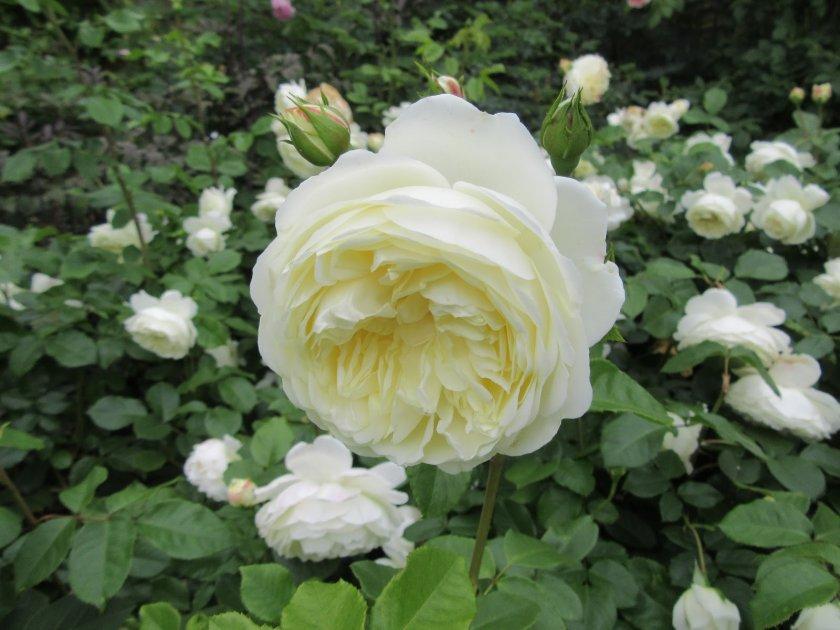 Розы Транквиллити