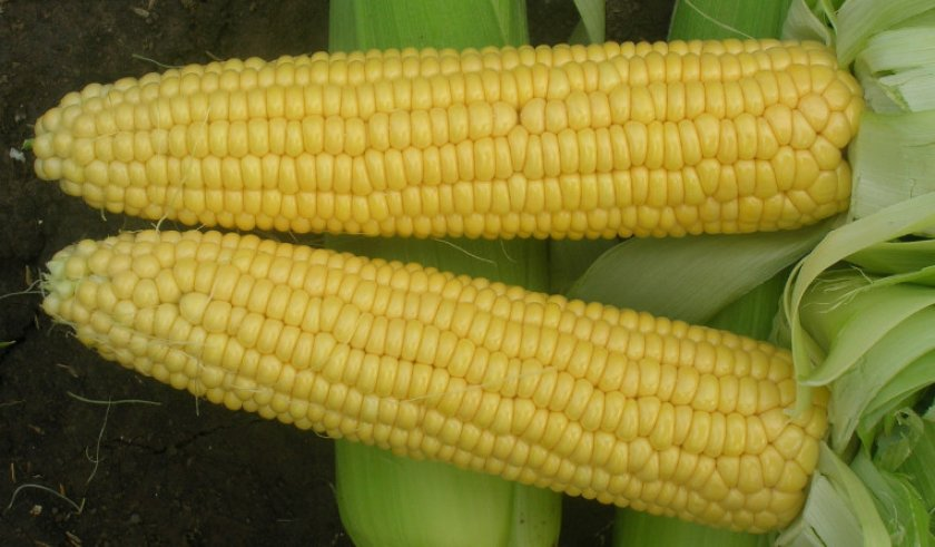 Кукуруза вега f1