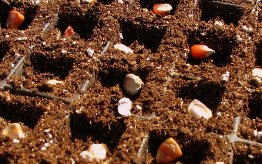 Выращивание кукурузы на даче из семян