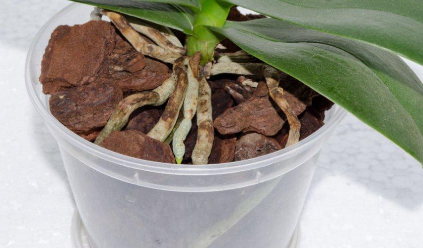 Опадают листья у орхидеи