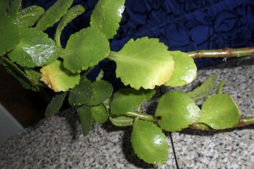 Желтые листья каланхоэ