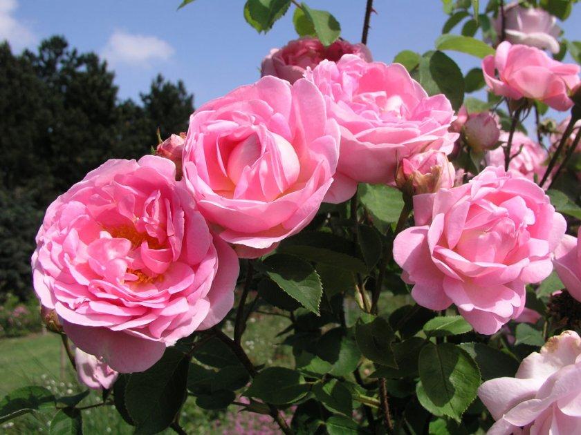 Условия для выращивания пионовыдных роз