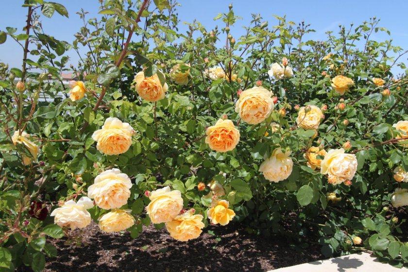 Полив и подкормки роз