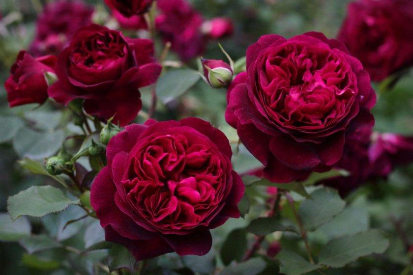 Период цветения роз