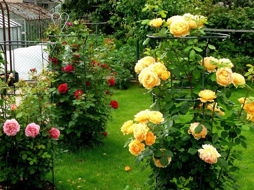 Пионовыдные розы на участке