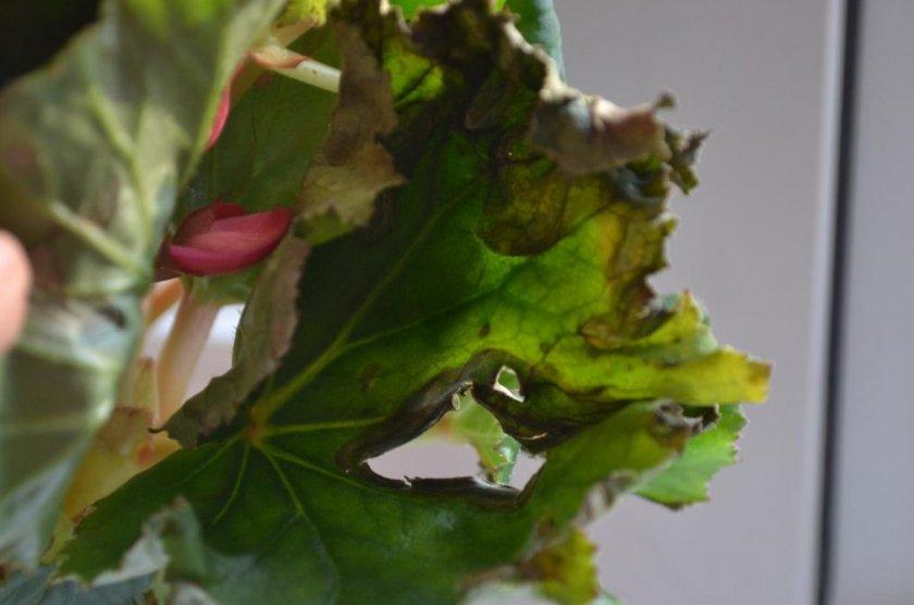 Сохнут листья у бегонии
