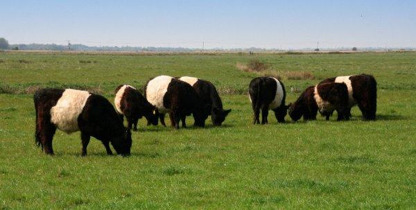 Коровы Галловейской породы - особенности разведения кормовая база видео