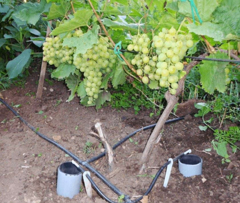 Капельный полив винограда