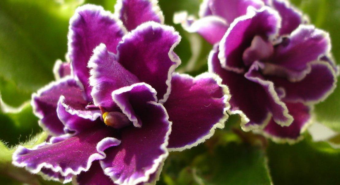 узамбарская фиалка фото с названием сорта тоже очень красивый