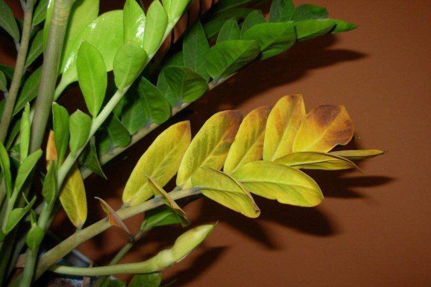 Почему не растёт замиокулькас