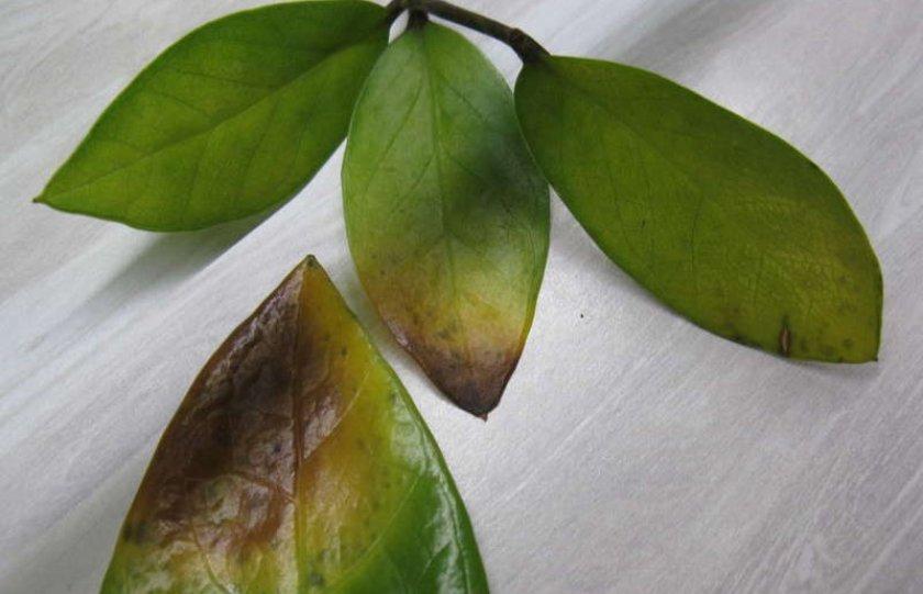 Пожелтение и сбрасывание листвы