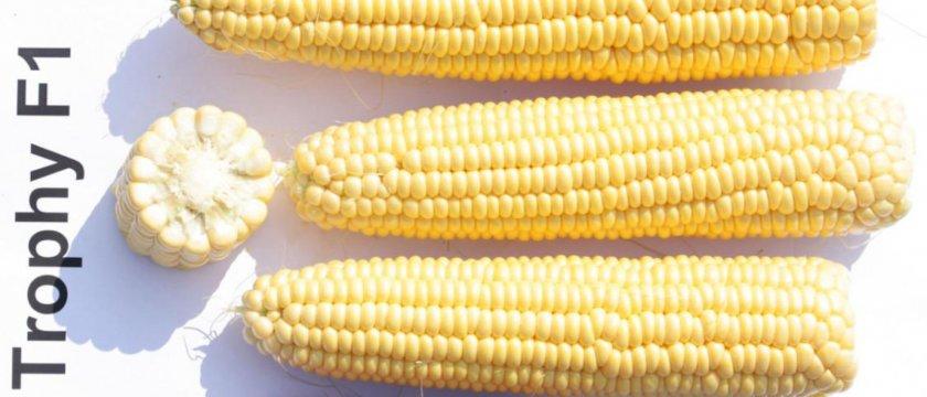 Кукуруза сорта трофи F1