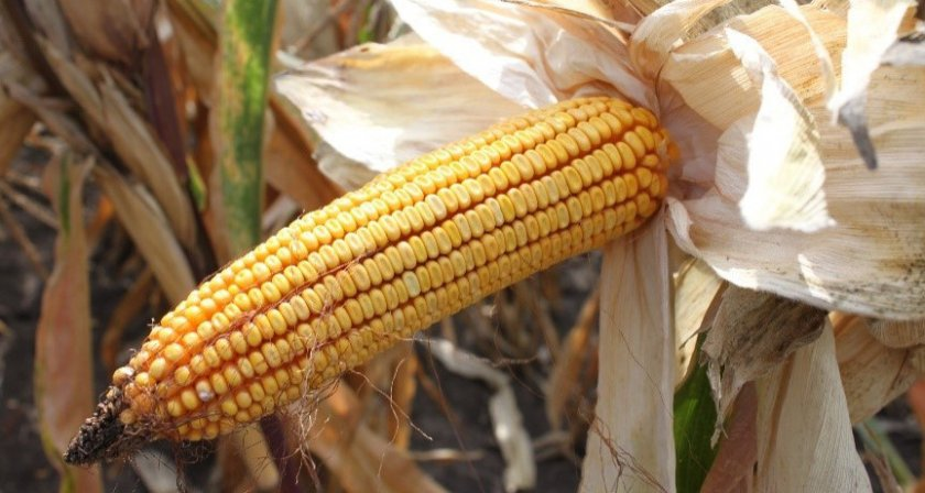 Кукуруза сорта ладожский 250 МВ