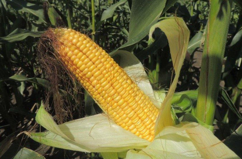 Кукуруза сорта Ладожский 191