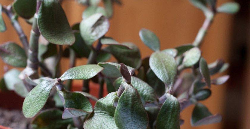 Тонкие листья