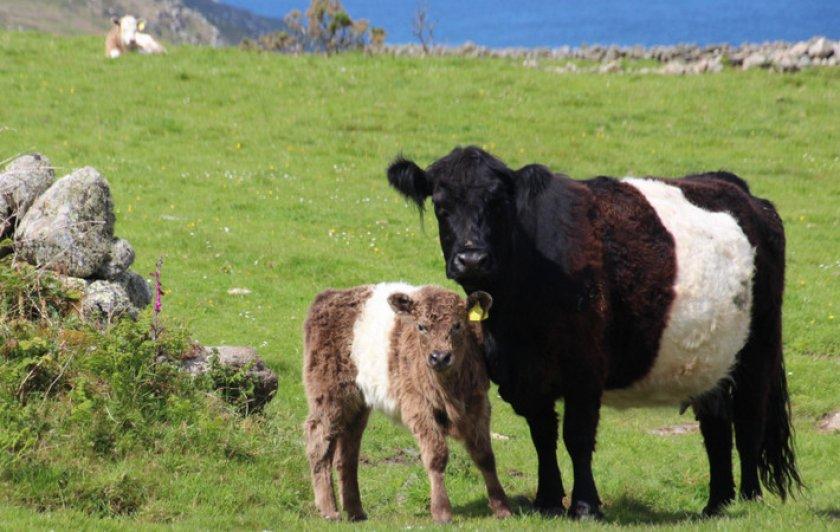 Галловейская порода коров
