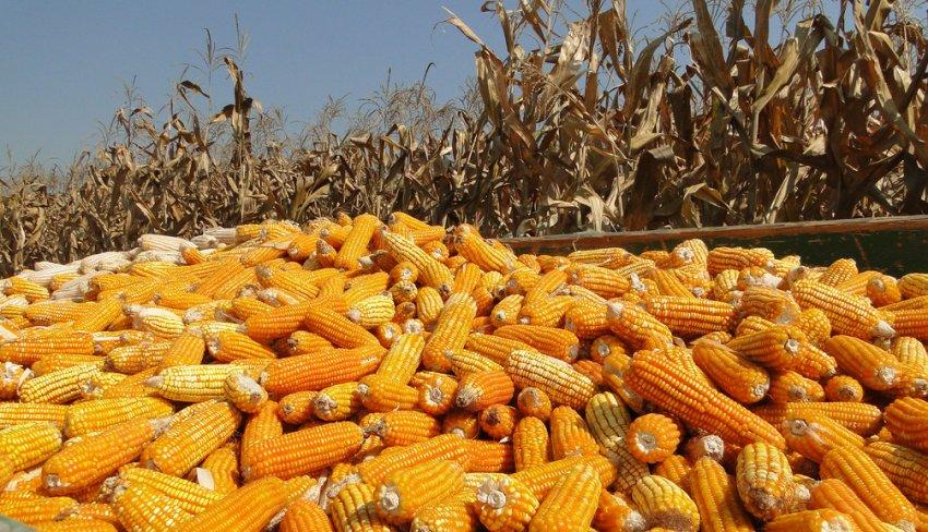 Урожай кукурузы