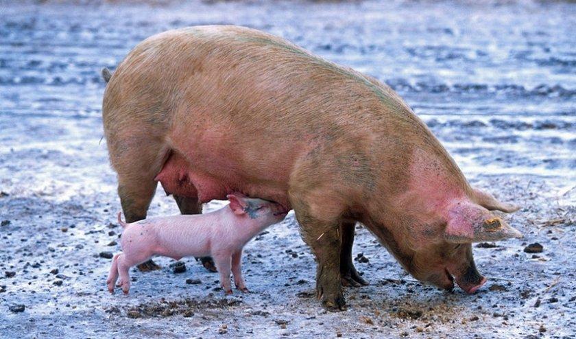 Содержание свиней зимой
