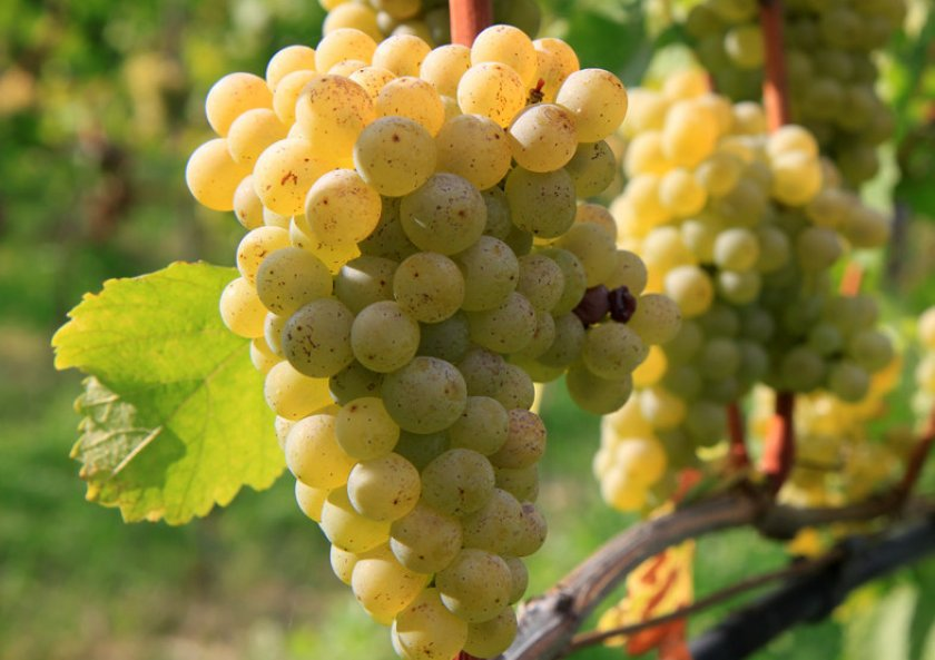Виноград сорта совиньон блан