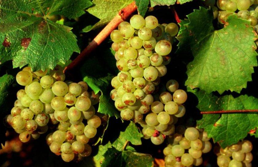 Виноград сорта алиготе