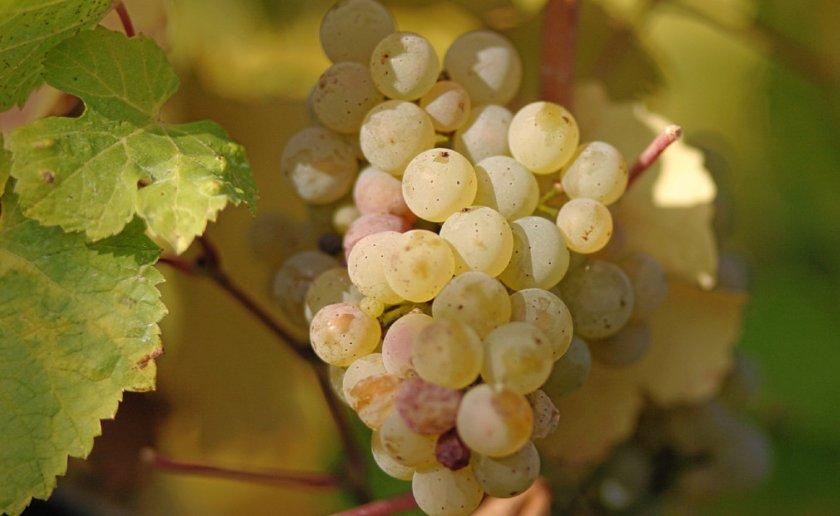 Виноград сорта белый мускат