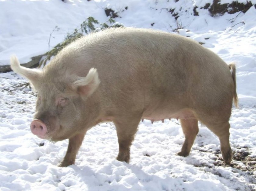 Как правильно выращивать свиней в домашних условиях?