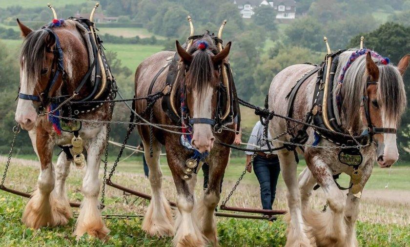 Тяжеловозные лошади