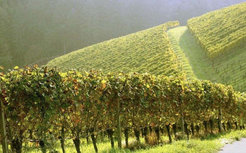 Запущенный виноградник