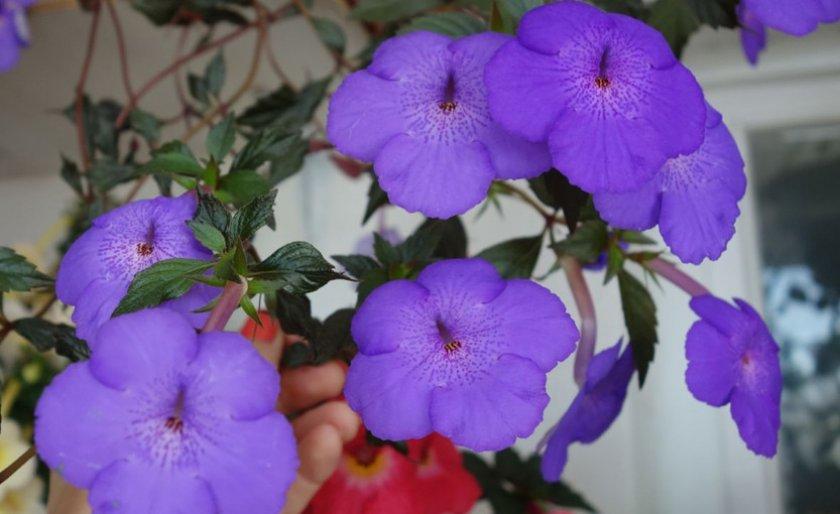 Purple Triumph