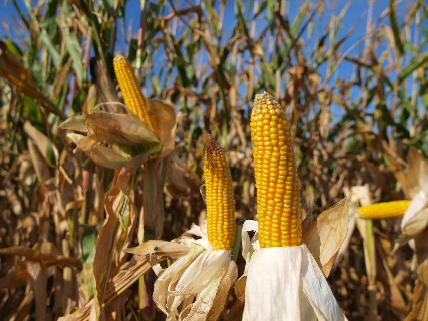 Урожайность кукурузы